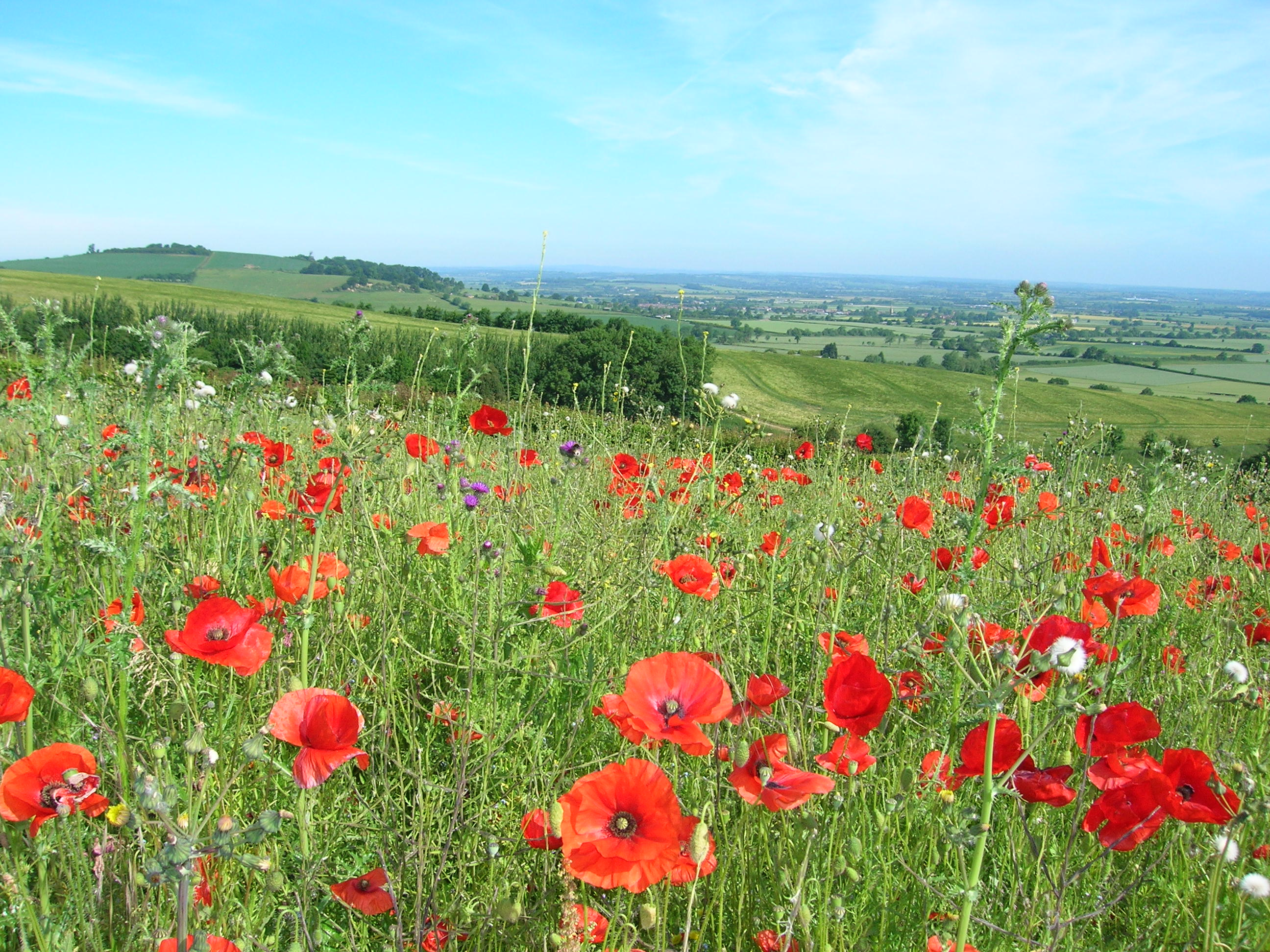 Photo of poppy fields on a beautiful blue sky day